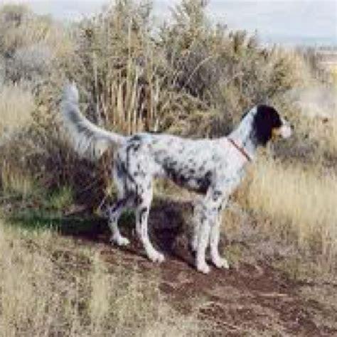 windfall farm english setters hunting dog breeders 15 best english setter images on pinterest english