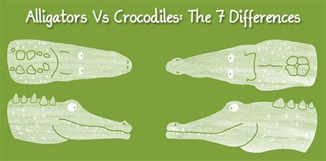 the difference between alligators and crocodiles alligators vs crocodiles the 7 differences the fact site