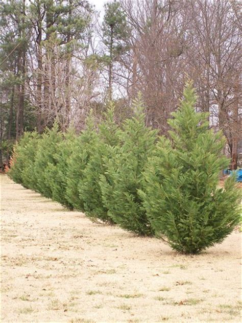 is leyland cypress still the tree to plant i think not image gallery leyland cypress growth habits