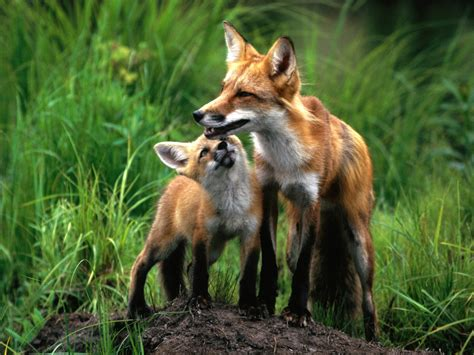 mom and baby foxes fox photo 24577048 fanpop