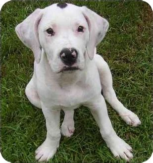 american bulldog mix puppies bulloxer american bulldog boxer mix info puppies and pictures