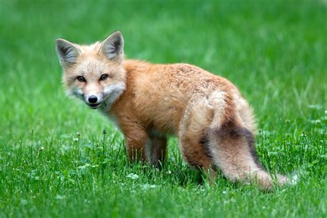 best fox pictures the 30 most adorable animals you would to cuddle with best photography landscapes