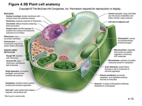 plant cell diagram and functions labeled plant cell and functions molecular biology