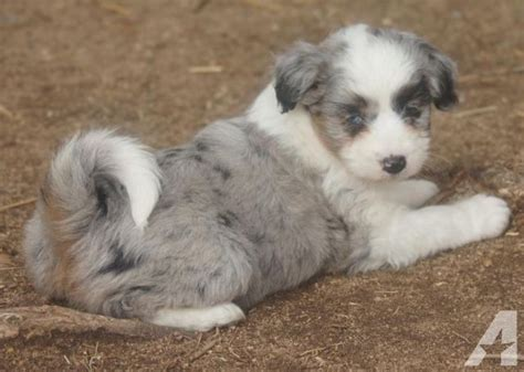 miniature aussiedoodle puppies for sale adorable mini aussiedoodle puppies for sale in susanville california