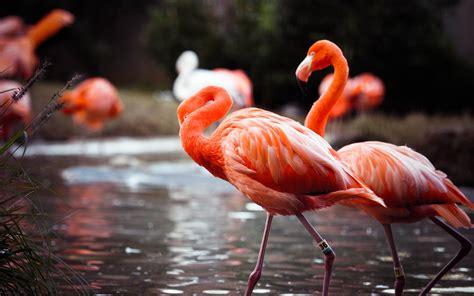 flamingos mac wallpaper flamingo wallpaper 183