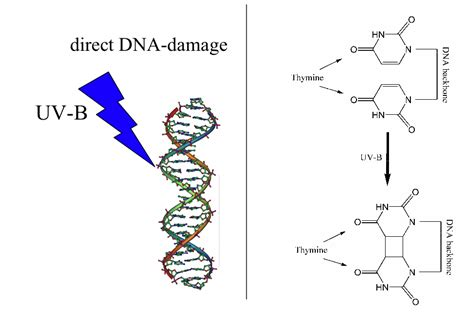 Uv Light Damages Dna By Causing by Direct Dna Damage