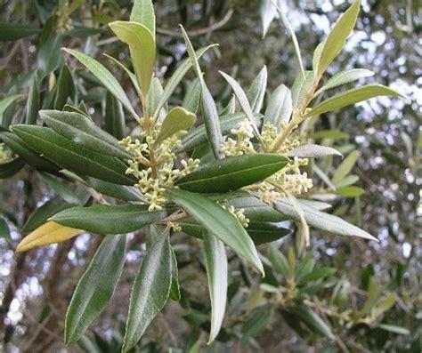 olive fiori di bach olive il fiore di chi 232 al limite delle proprie energie