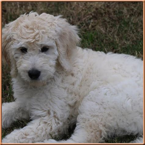goldendoodle puppies nc goldendoodles the best f1b goldendoodles in carolina non shedding