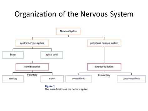 Organization Of The Nervous System Worksheet Answers