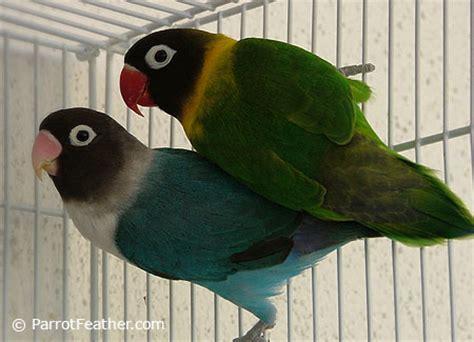 parrotfeather com black masked lovebirds