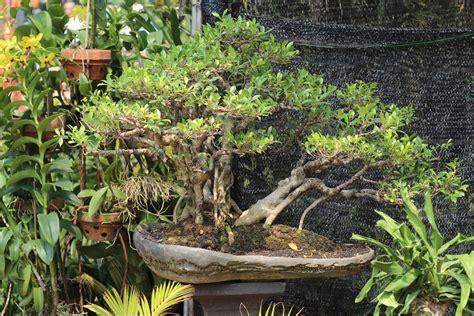 garten bonsai garten mit bonsai dekorieren 187 diese b 228 umen eignen sich