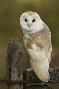 Barn Ol Barn Owl I Dream Of Owls Pinterest