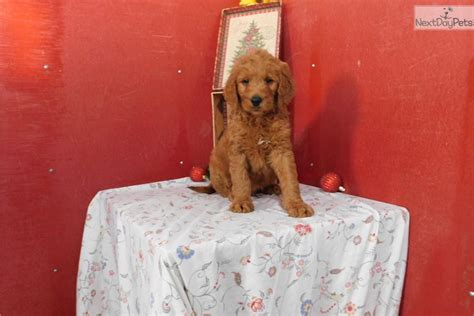 doodle name lester lester goldendoodle puppy for sale near indianapolis