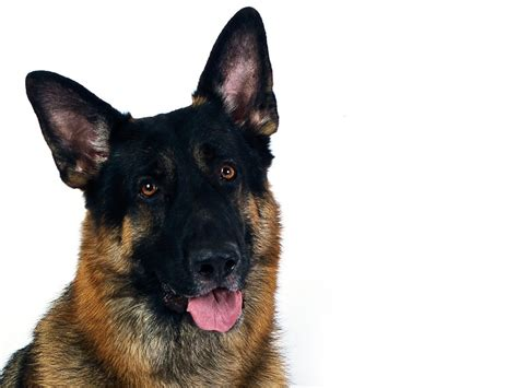 german shepherd breed german shepherd breeds pictures breed pictures