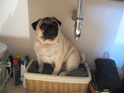 why you should get a pug 8 reasons why you should never own a pug