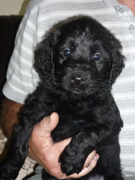 black labradoodle puppies black labradoodle 700 posted 1 year ago for sale dogs labradoodle quotes