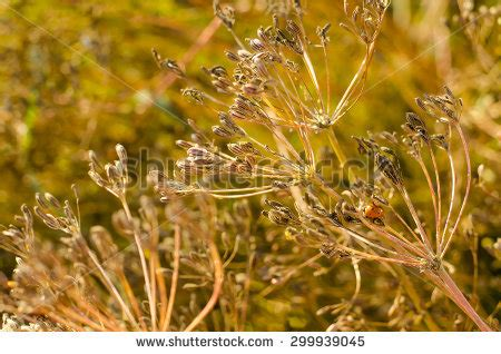 cumin plant stock images royalty free images vectors cumin plant inspired room cumin plant stock images royalty free images vectors