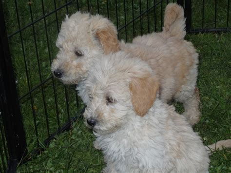 f1b labradoodle puppies for sale stunning f1b labradoodle puppies for sale gravesend kent pets4homes