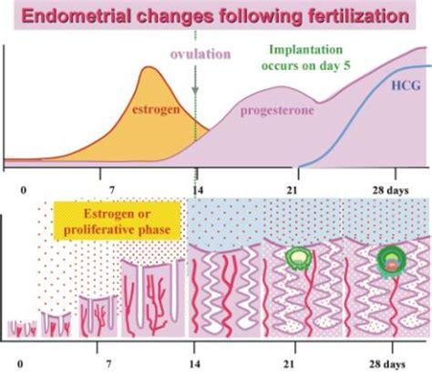 briefly explain  effect  pregnancy   menstrual
