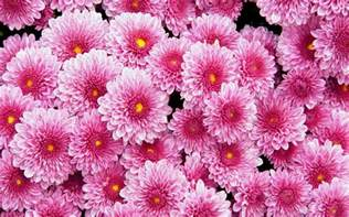 pink dahlias wallpaper flower wallpapers 20441