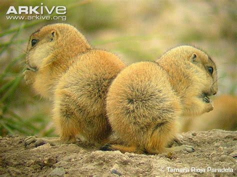 pictures of prairie dogs mexican prairie photo cynomys mexicanus g64296 arkive