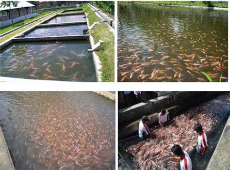 Bibit Ikan Nila Gesit nila gesit ikan nila jantan budidaya ikan