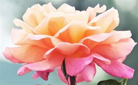 themes of rose flower ombre wedding ideas