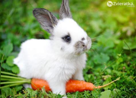le hase zajačik ako dom 225 ce zvieratko zvieratk 225 pravda