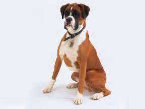 Boxers Shedding by 5 Myths About Boxers And The Them Animalso