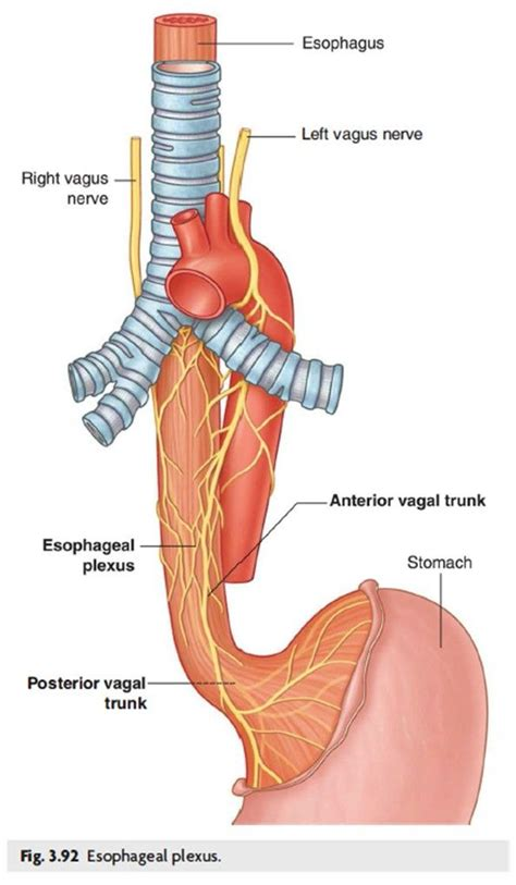Innervation Diagram