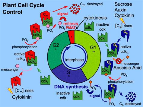 2 proteins that regulate the cell cycle cell cycle