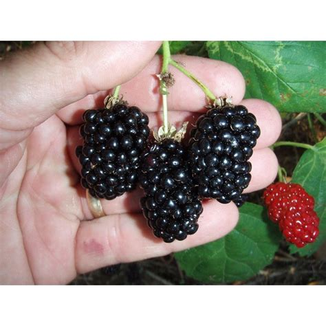 Black Faucets Kitchen Sweet Berry Selections Natchez Thornless Blackberry Fruit