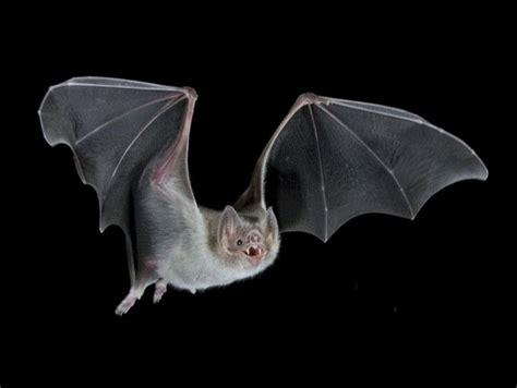bat pictures diet breeding life cycle facts habitat
