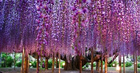 the most beautiful wisteria tree in the world the open mind