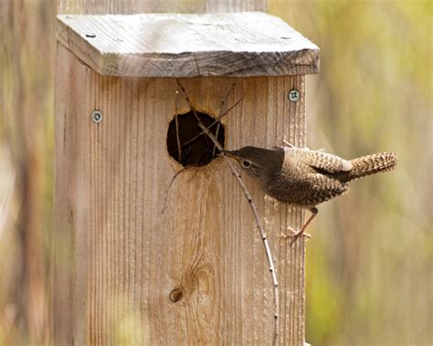 house wren nestwatch