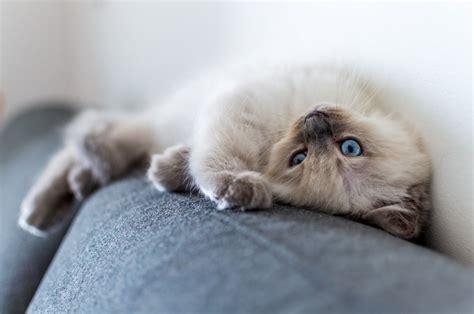 ragdoll weight ragdoll cat breed information simpsons premium pet food