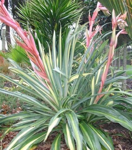 Types Of Garden Herbs - beschorneria mexican lily hello hello plants amp garden supplies