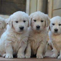 golden retriever puppies washington state golden retriever breeders washington state photo