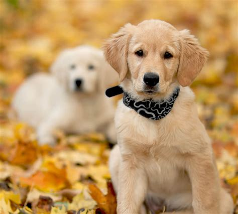 hund golden retriever 10 intressanta fakta om golden retriever h 228 rliga hund