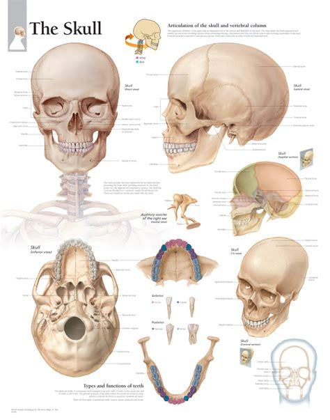 skull anatomy the skull scientific publishing