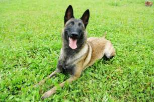 belgian shepherd malinois for sale uk longevity health and hereditary conditions within the