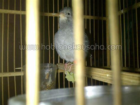 Daftar Harga Pakan Burung Fancy jual kenari fife fancy starblue harga jual hobi aneka usaha