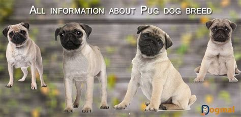 pug puppy information pug breed history characteristics appearance and pictures