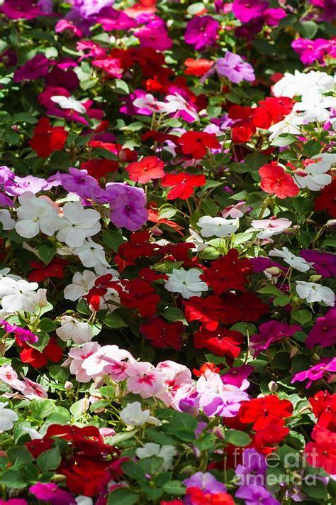 Flowers For Summer Garden - beautiful flowers garden beautiful summer carpet