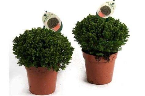 piante a cespuglio fiorite piante da balcone al sole foto 8 40 tempo libero
