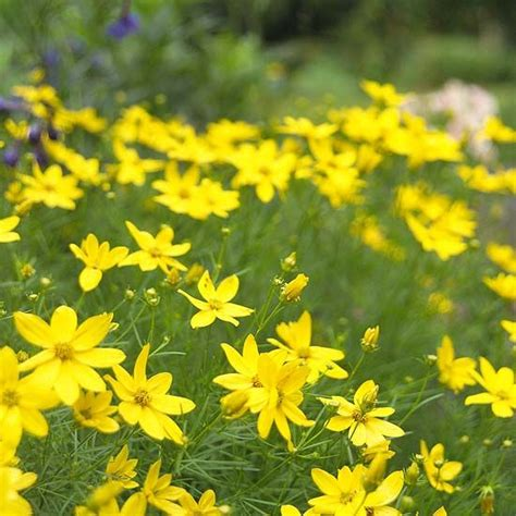 threadleaf coreopsis plant ideas pinterest perennials clay and plants