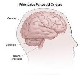 De la vista lateral del enc 233 falo y las isiones en cerebro
