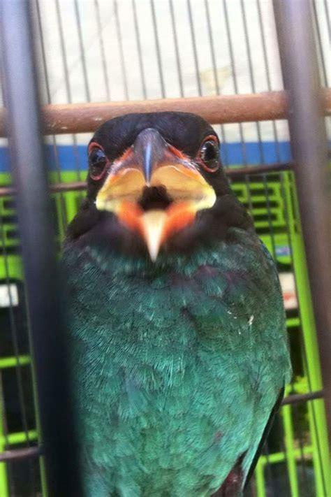 Burung Tengkek Buto suara burung tengkek buto binatang peliharaan