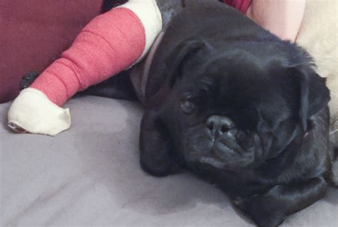 reputable pug breeders the about pug puppies and backyard the pug diary