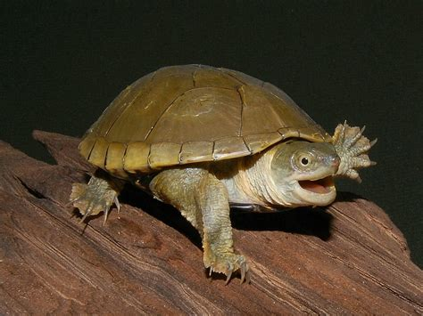 Turtle L by Common Mud Turtle Turtleholic